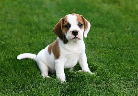 puppy for sale in pa beabull puppies for sale in pa breeds picture