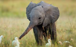 Baby elephant wallpapers pictures