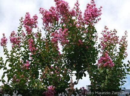alberi da giardino fioriti alberi fioriti da giardino sono fioriti gli alberi rime e