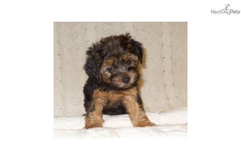 yorkie poo iowa yorkiepoo yorkie poo puppy for sale near sioux city iowa 059cfc42 3791