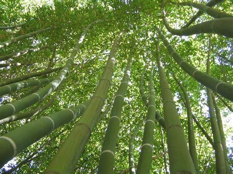 giardino di bambu coltivare canne di bambu piante da giardino come