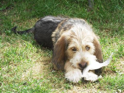 otterhound puppies otterhound puppy pet stuff