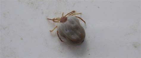 embedded tick on 18 best images about ticks on cats puppys