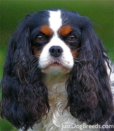king charles breed cbell cavalier king charles spaniel breeds