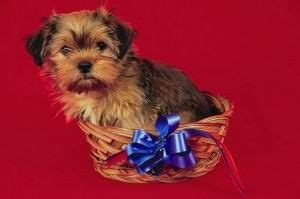 all you need to about yorkies terriers learn everything you need to about them right here