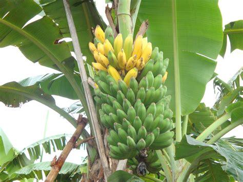 membuat dodol pisang enak resep dodol