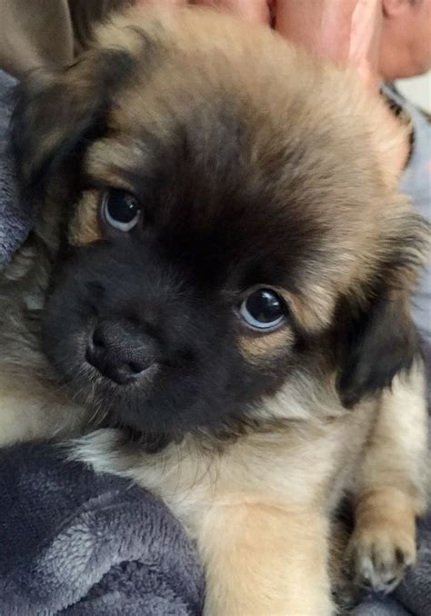 yorkie and pug mix puppies 17 best images about puppy on care pools and pomeranian husky