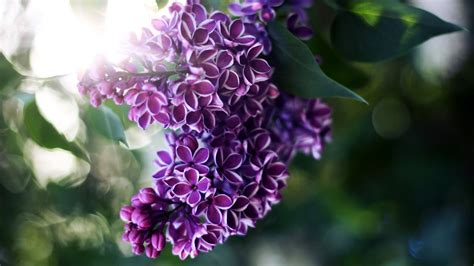 lilacs flowers picture of lilac flower beautiful flowers