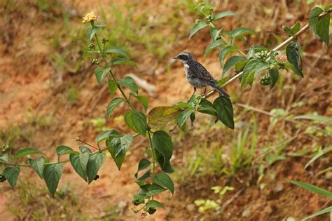 picture of a grey womans bush gray female bush pics grey bush cricket platycleis