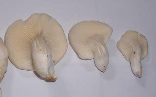 Lu Jamur jamur tiram putih pemilihan pda f0 yang baik