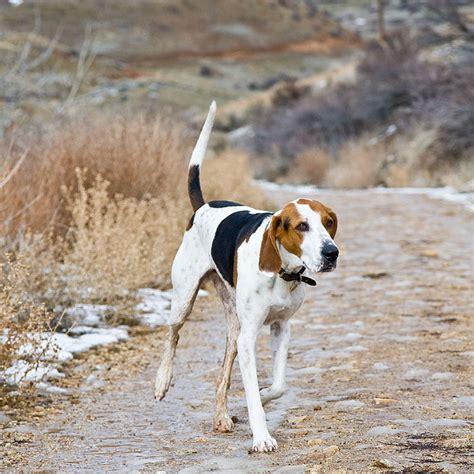 walker hound treeing walker coonhound best bully sticks