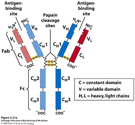 j protein immunoglobulins immunoglobulin g gamma globulin 7s igg