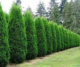 Fast Growing Climbing Plants For Fences - arborvitae emerald green affordable trees