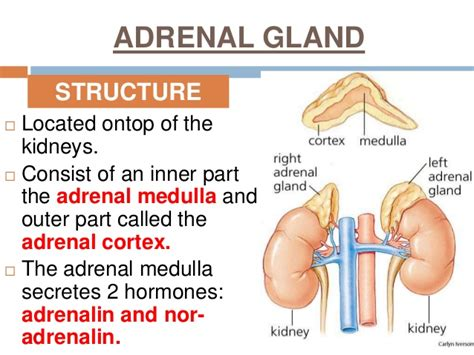 the outer section of the adrenal gland is the the outer section of the adrenal gland is the 28 images