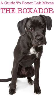 boxer lab mix a guide to the boxador the happy puppy site