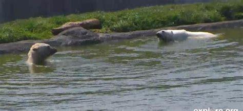 live streaming polar bear enclosure webcam scandinavian