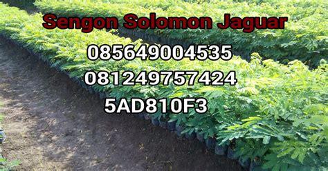 Jual Bibit Sengon F1 jual benih sengon solomon jaguar f1 jual bibit sengon