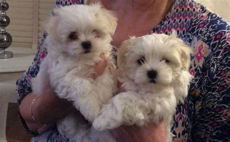 maltese puppies for sale 2 maltese puppies for sale glossop derbyshire