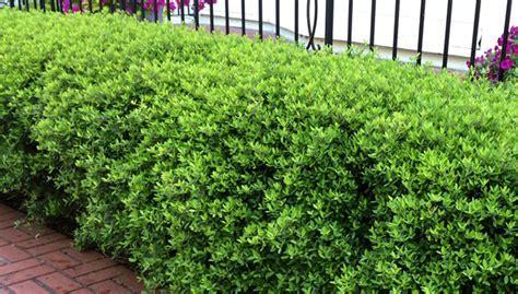 Gulf Coast Gardening: Low Maintenance Evergreen Shrubs
