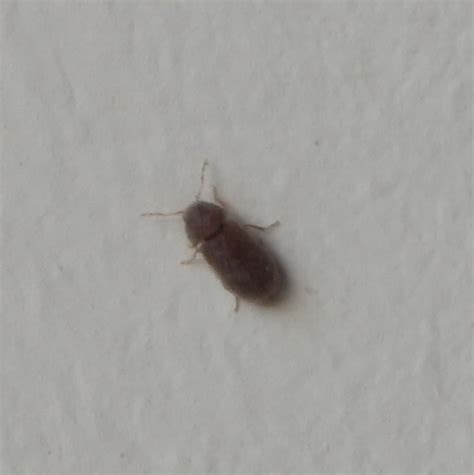 tiny brown bugs in bathroom natureplus small brown beetle like bug