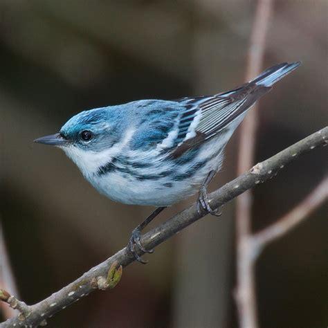 cerulean warbler wikipedia