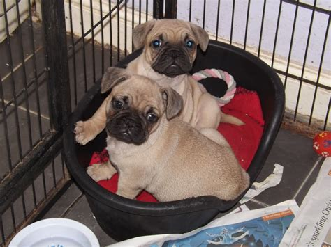 frug puppies frug puppies available peterborough cambridgeshire pets4homes