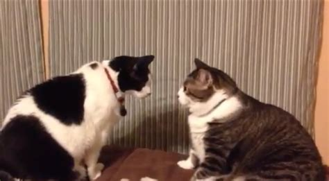 cat staring contest ends in just about the way you d
