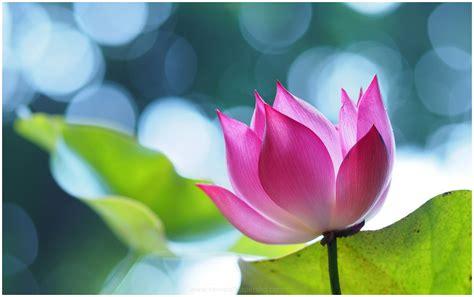 wallpaper pink lotus pink lotus flower hd wallpaper 9hd wallpapers