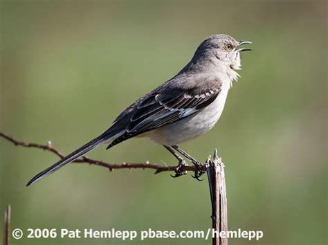 northern mockingbird birdnote