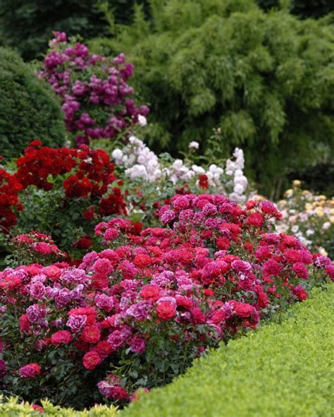 flower carpet mixed colors your easy garden