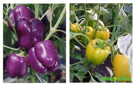 gambar paprika ungu dan paprika kuning mitalom