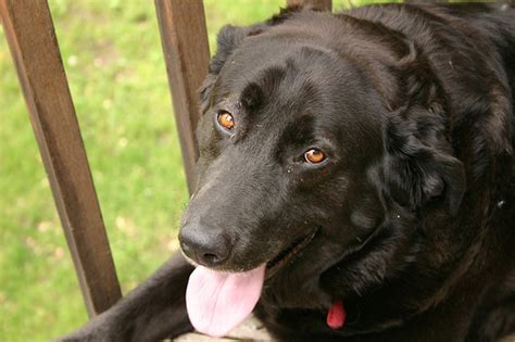 excessive panting in dogs 7 signs that your is in pawsitively pets