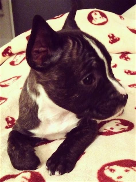 miniature bullterrier puppies breed information puppies miniature french bull terrier dog breed information and