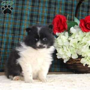 pomeranian puppies for sale in pa 300 pomeranian mix puppies for sale in pa