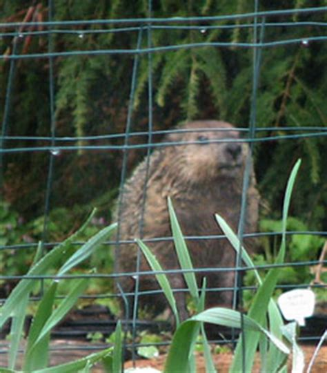 How To Keep Groundhogs Out Of Garden by Predictions Of A Groundhog Day Of Garden How