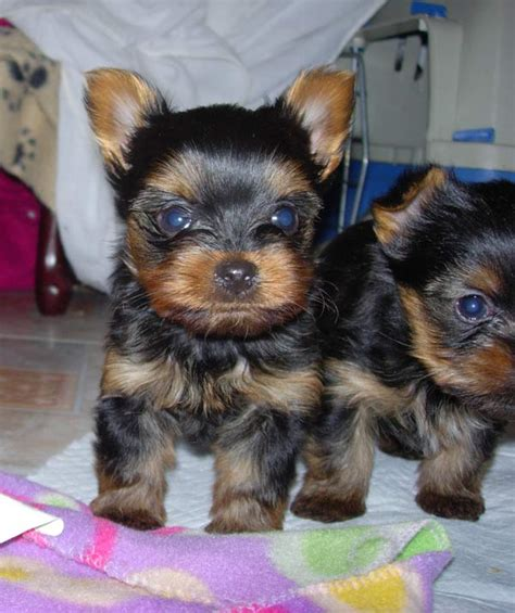 yorkie puppies for sale montreal mini terrier puppy for sale adoption from montreal breeds picture