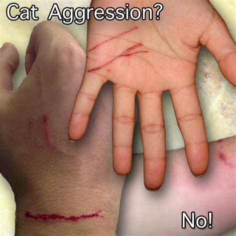 how to a not to attack cats unprovoked domestic cat attack