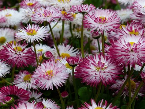 bunga aster merah daisies flowers  descent  china