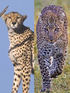 Difference Between Cheetah Leopard And Jaguar Differences Between Leopards And Cheetahs Somak Holidays