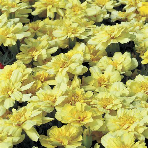 marigolds shade 100 marigolds shade fist sized marigolds rotary