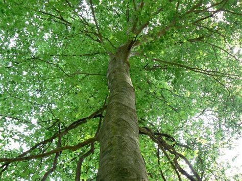 american tree file 07 03americanbeechfl jpg wikimedia commons