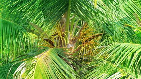 Coconut Tree coconut tree coconut health benefits tender coconut copra
