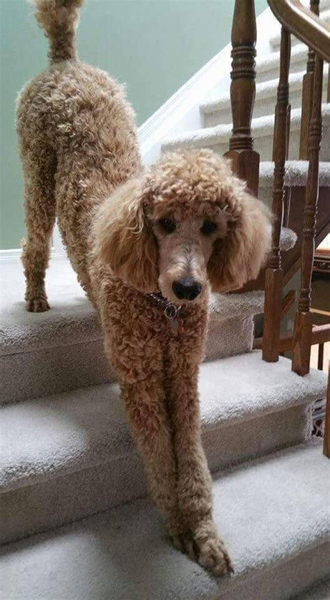 grooming standard poodles cuts 146 best images about poodles on pinterest french