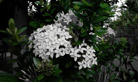 gambar bunga asoka  mafaatnya sigambar