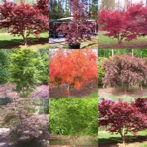 the japanese maple a deciduous tree graft plant propagation reports
