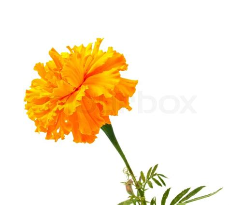 Marigold Paint marigold flower on a white background stock photo colourbox