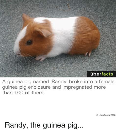 Guinea Pig Meme - funny guinea pig memes of 2017 on sizzle randi