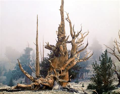 bristlecone pine tree california mystic 20 best images about trees on trees