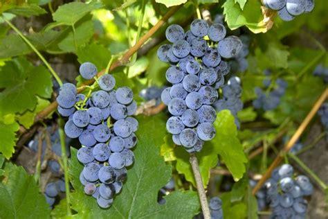 come coltivare l uva da tavola uva fragola coltivazione curiosit 224 uva