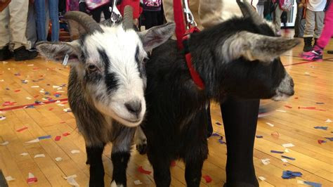 Backyard Goat by New Britain Rock Cats To Become Hartford Yard Goats Nbc